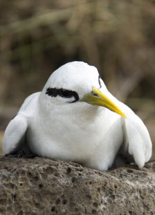 20160824 - White-tailed Tropicbird (Phaethon lepturus) (1)